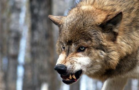 lobo malo