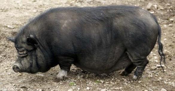 cerdo-vietnamita