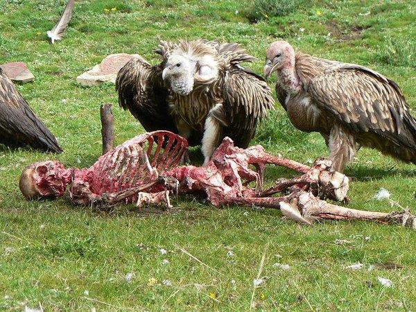voltors amb cadàver humà