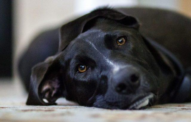 gos negre